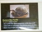 Eastern Box Turtleinfo